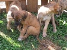 6 weeks! Tweed pups 17 005
